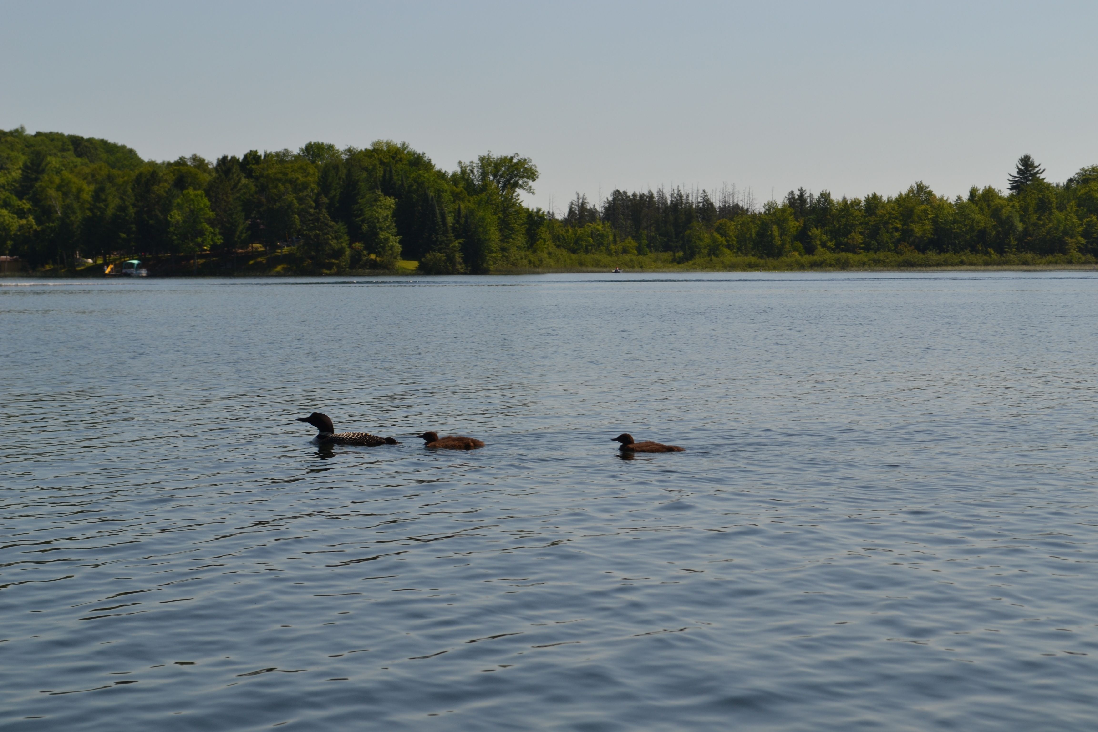 Common loon family in northern Wisconsin.