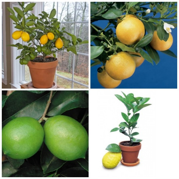 4 Citrus Plants to Grow Anywhere