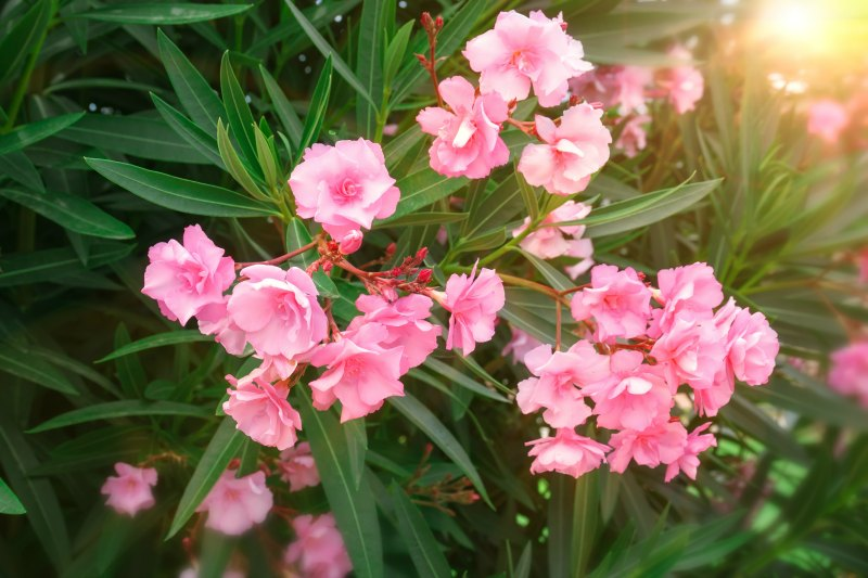 Plants_That_Can_Kill_Oleander