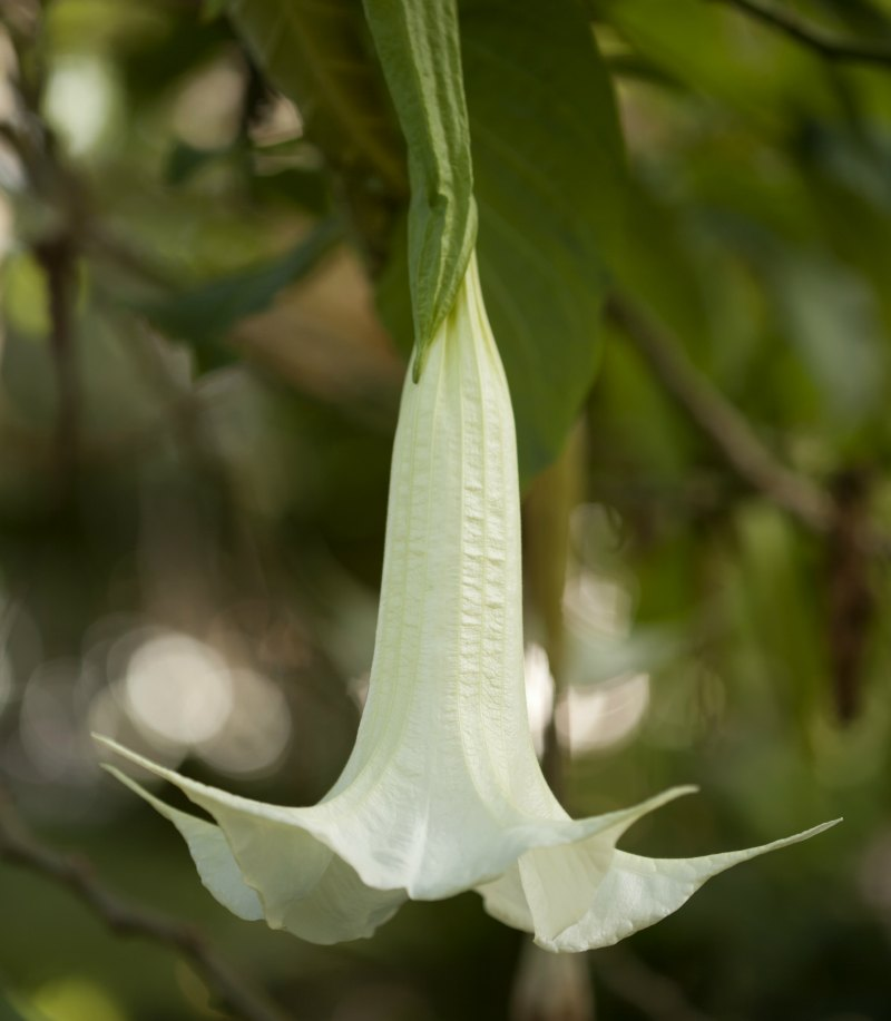 Plants_That_Can_Kill_Angels_Trumpet