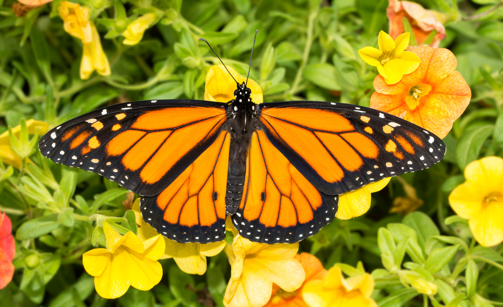 How Do You Tell the Difference Between a Male and Female Monarch?